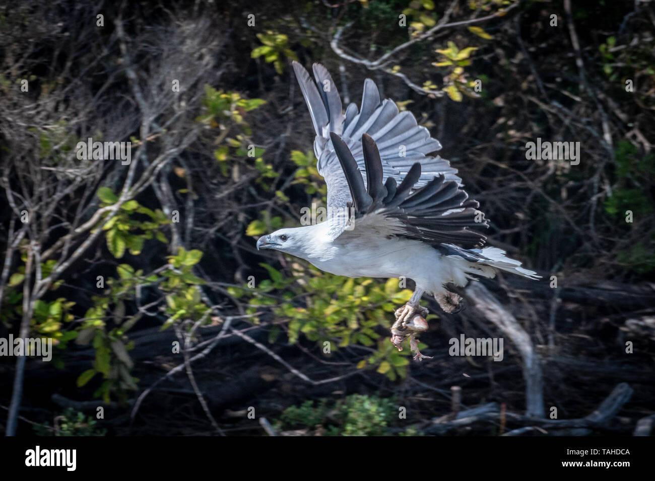 Sea-Eagle (Haliaeetus leucogaster), with Fish Stock Photo