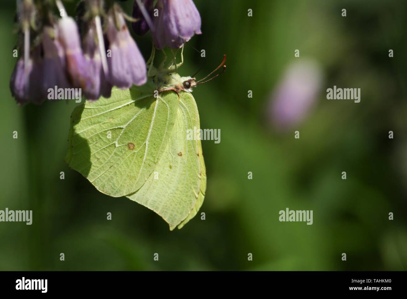 A pretty Brimstone Butterfly, Gonepteryx rhamni, nectaring on a Comfrey flower. Stock Photo