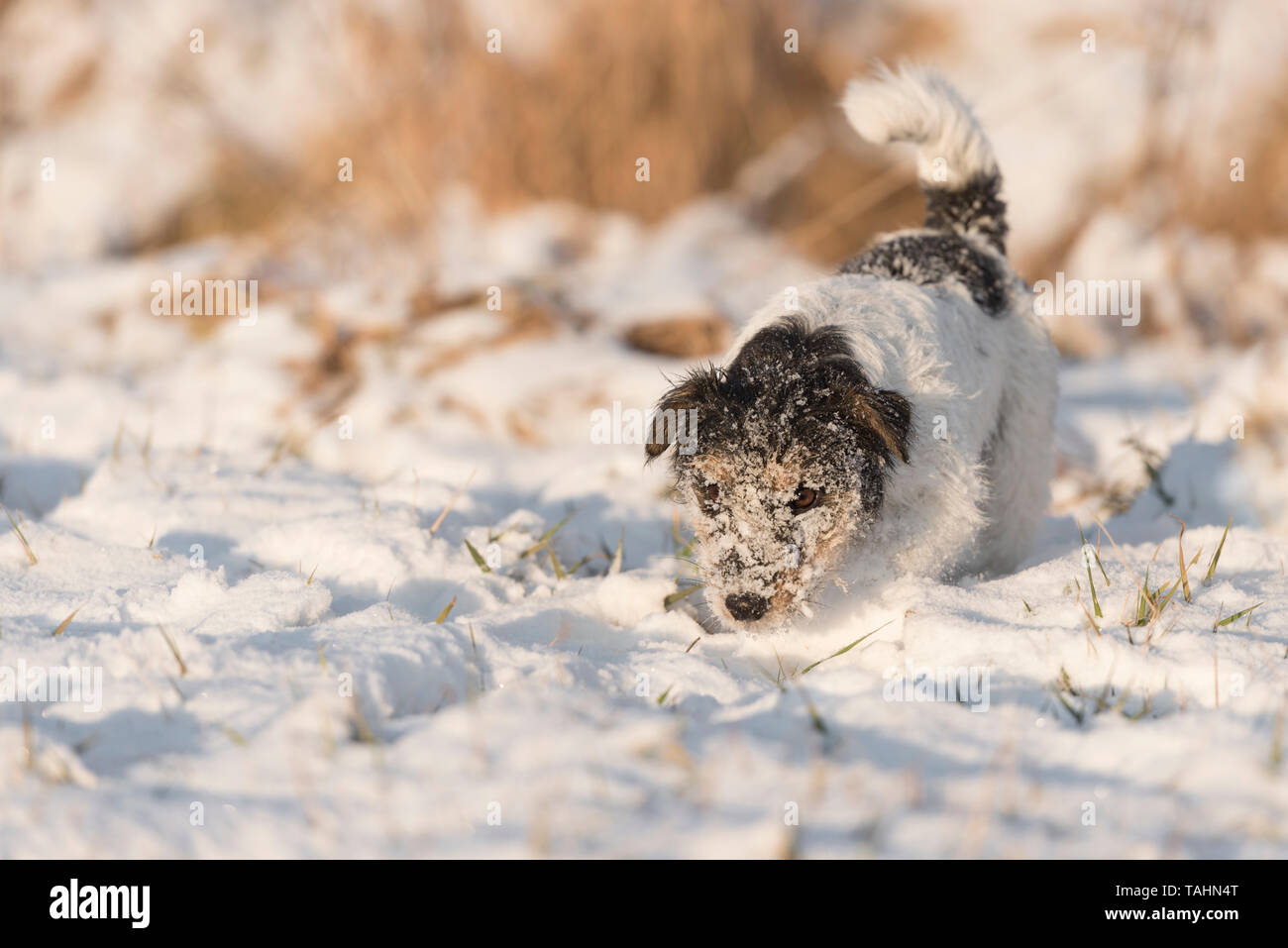 Jack Russell Terrier  - cute small hunting dog picks up a track in the snow and tracks it - Stock Image