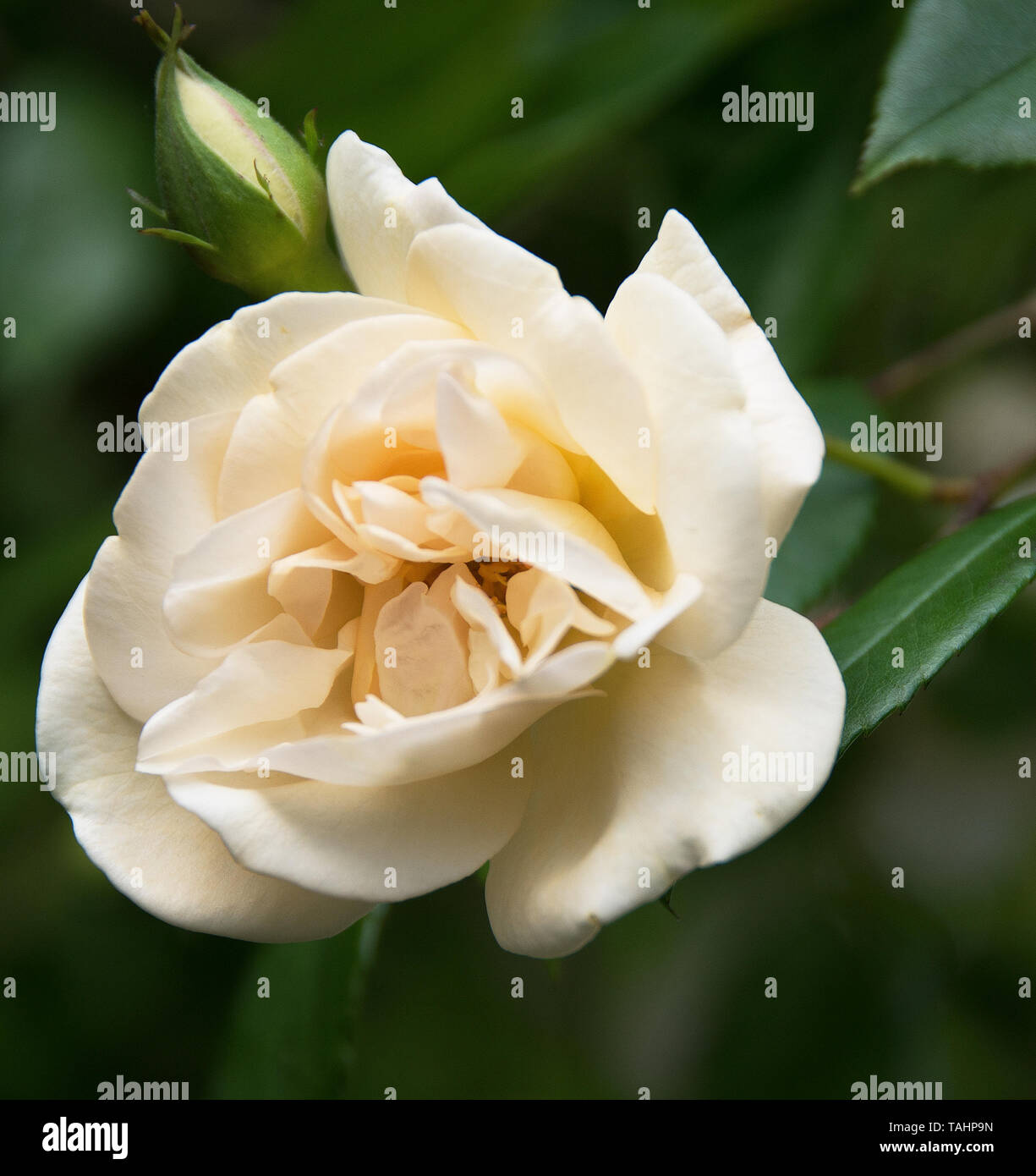 Rosa 'Adelaide d'Orleans' - Stock Image