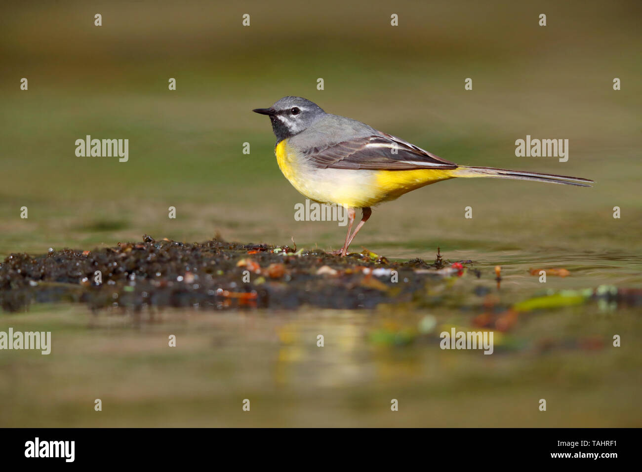 A beautiful adult male Grey Wagtail (Motacilla cinerea) in summer near his nest on the River Barle in Dulverton, Exmoor, Somerset, England Stock Photo
