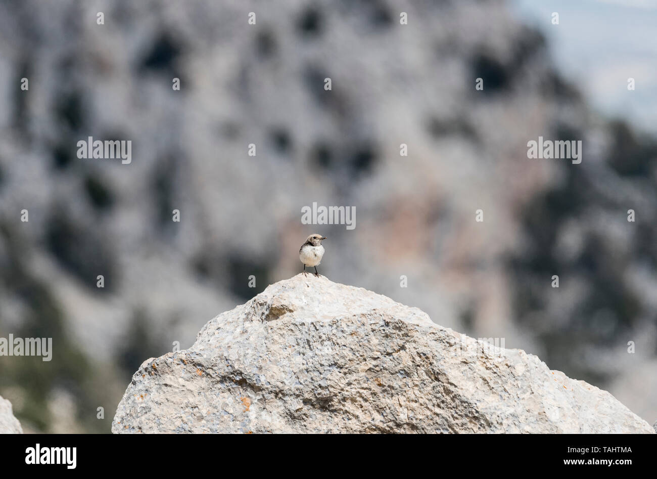 Finsch's Wheatear (Oenanthe finschii) perched on a rock - typical habitat Stock Photo
