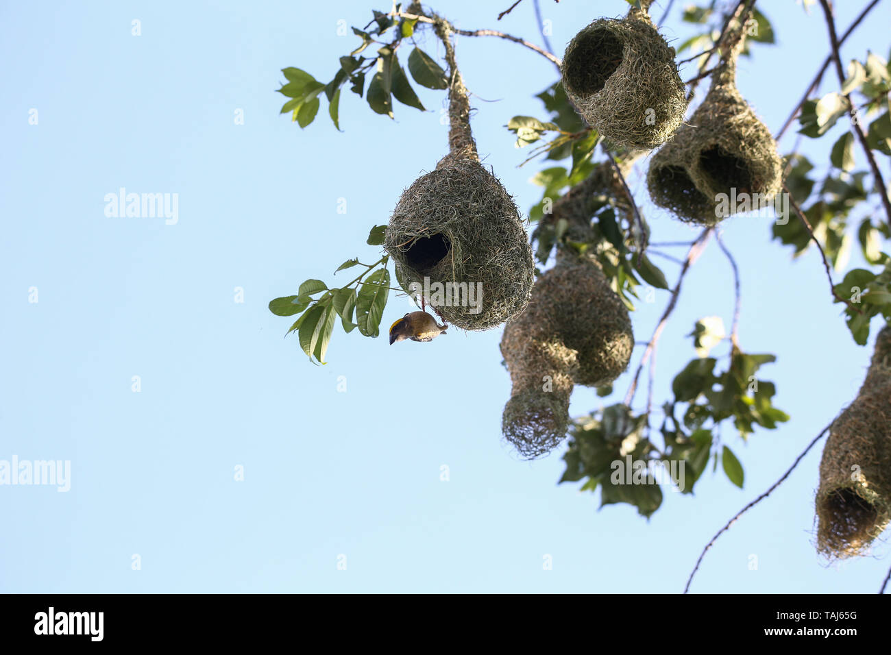 Kathmandu, Other, Nepal. Kathmandu, Other, Nepal. 25th May, 2019. A Baya weaver bird seen weaving its nest in a tree.Weavers are known for their elaborately woven nests. Credit: Sunil Pradhan/SOPA Images/ZUMA Wire/Alamy Live News - Stock Image