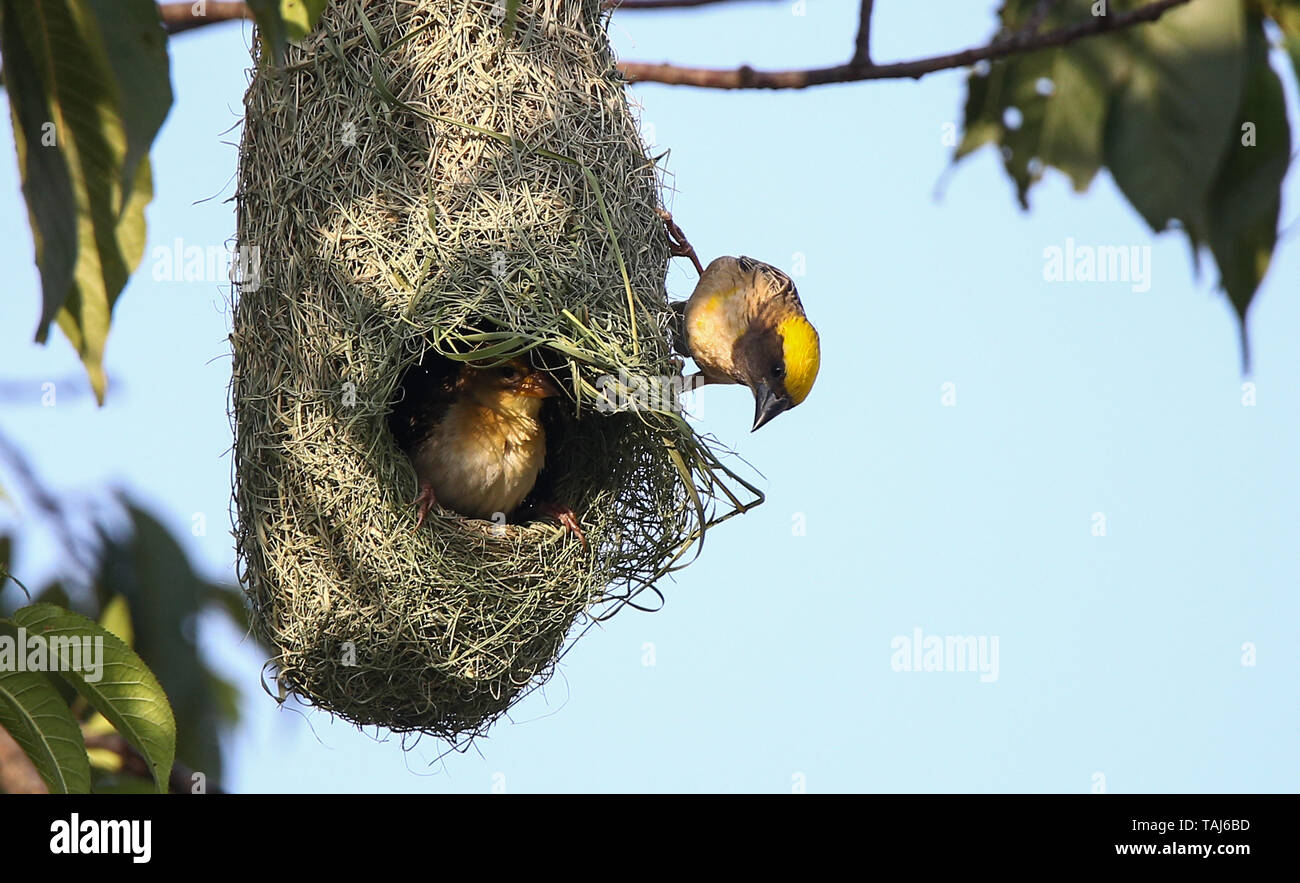 Kathmandu, Other, Nepal. May 25, 2019 - Kathmandu, Other, Nepal - Baya weaver birds seen weaving their nest in a tree.Weavers are known for their elaborately woven nests. Credit: Sunil Pradhan/SOPA Images/ZUMA Wire/Alamy Live News - Stock Image