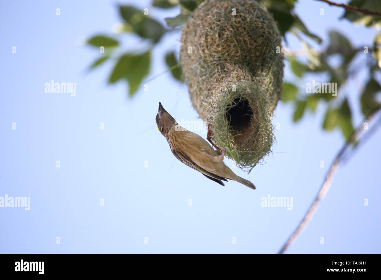 Kathmandu, Other, Nepal. 25th May, 2019. A Baya weaver bird seen weaving its nest in a tree.Weavers are known for their elaborately woven nests. Credit: Sunil Pradhan/SOPA Images/ZUMA Wire/Alamy Live News - Stock Image