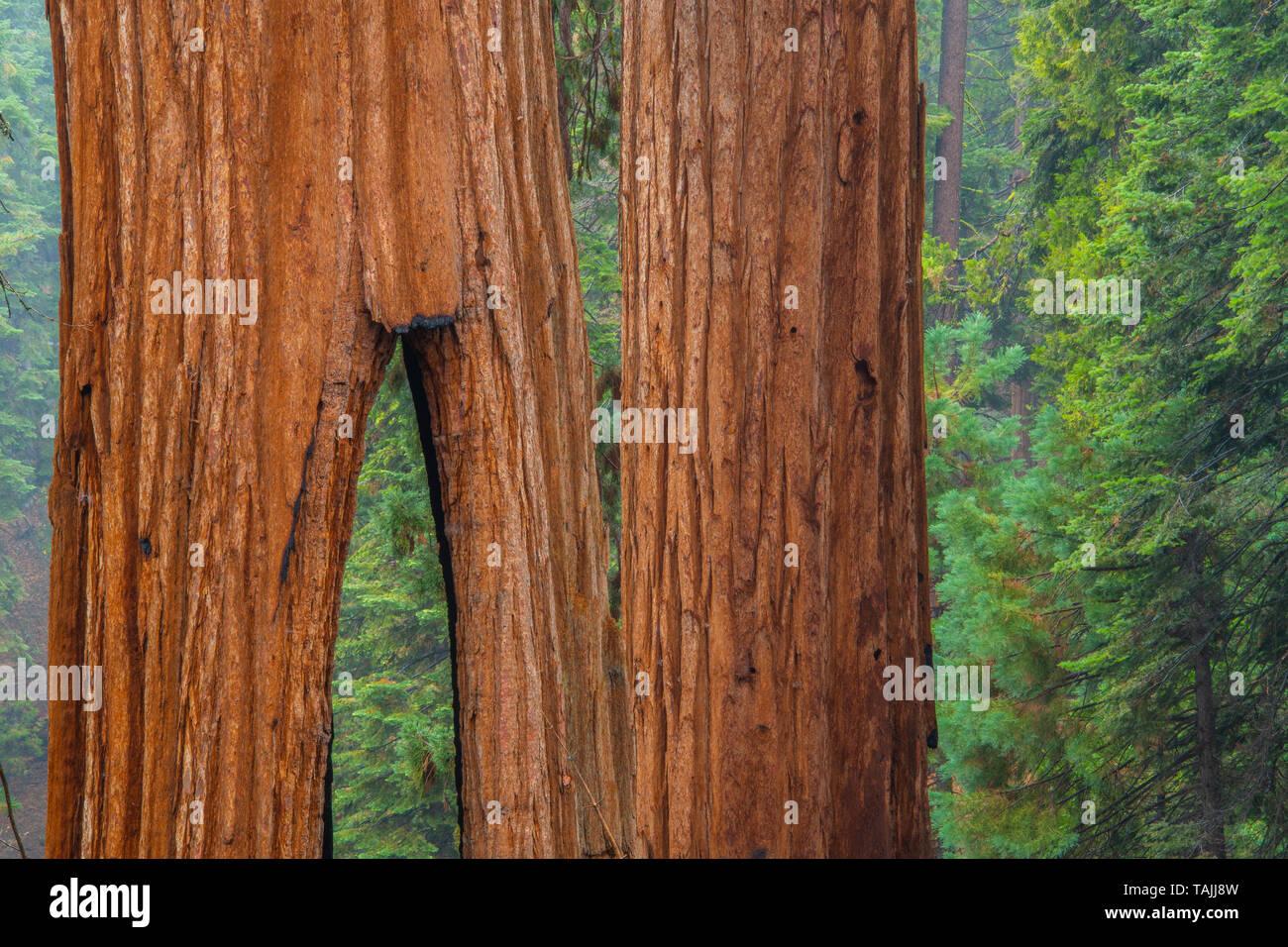 Clothspin tree, Redwood trees (Sequoiadendron giganteum), Mariposa grove, Yosemite NP, California, USA, by Bill Lea/Dembinsky Photo Assoc - Stock Image
