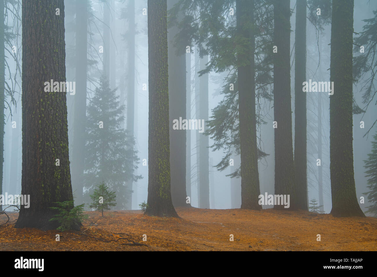 Conifers and morning fog, Mariposa grove, Yosemite NP, California, USA, by Bill Lea/Dembinsky Photo Assoc Stock Photo