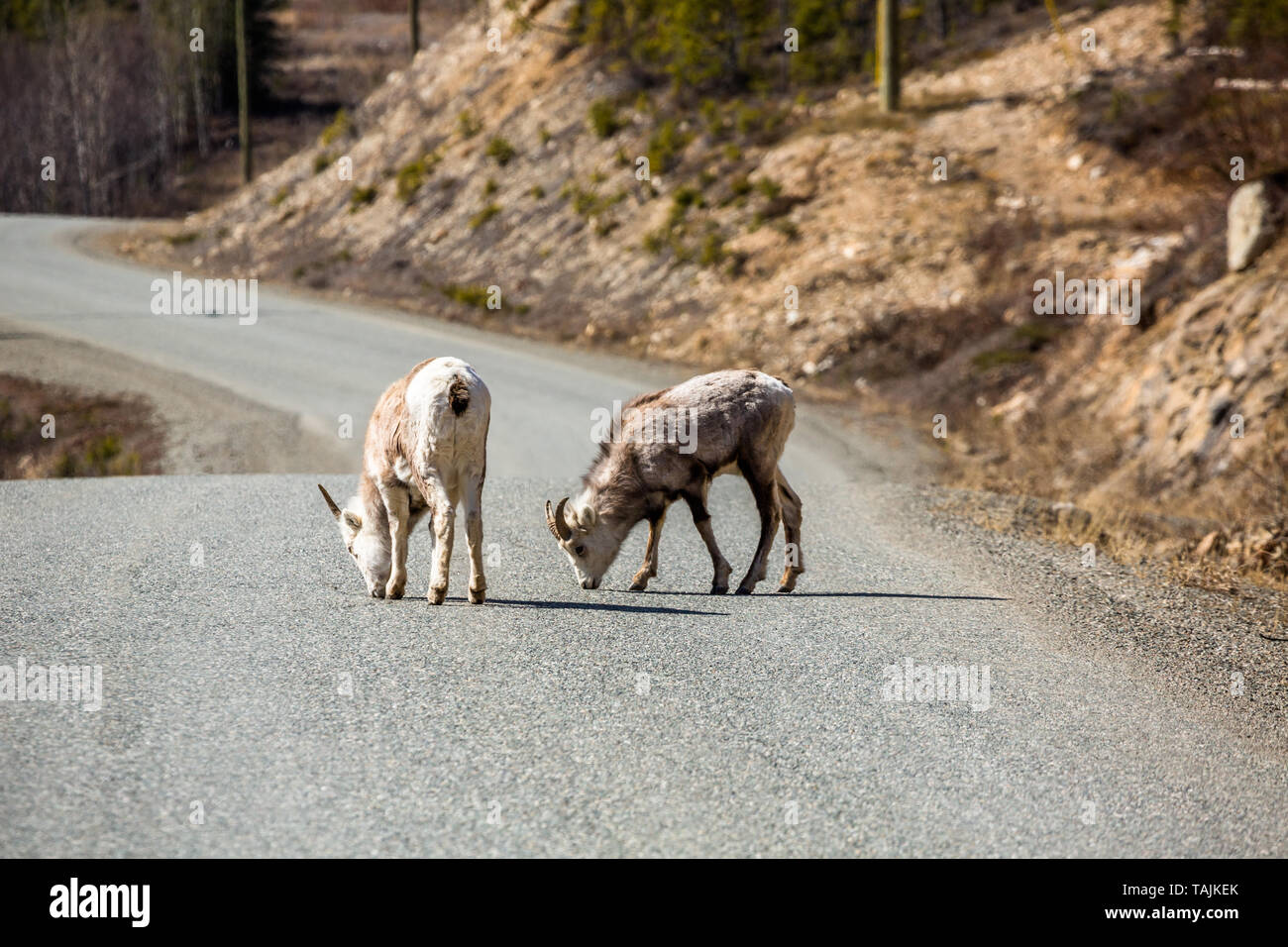 Two young Stone Sheep or Dall Sheep lick mineral deposits from the Cassiar Highway near the Alaska Highway Junction in the Yukon, Canada. Stock Photo