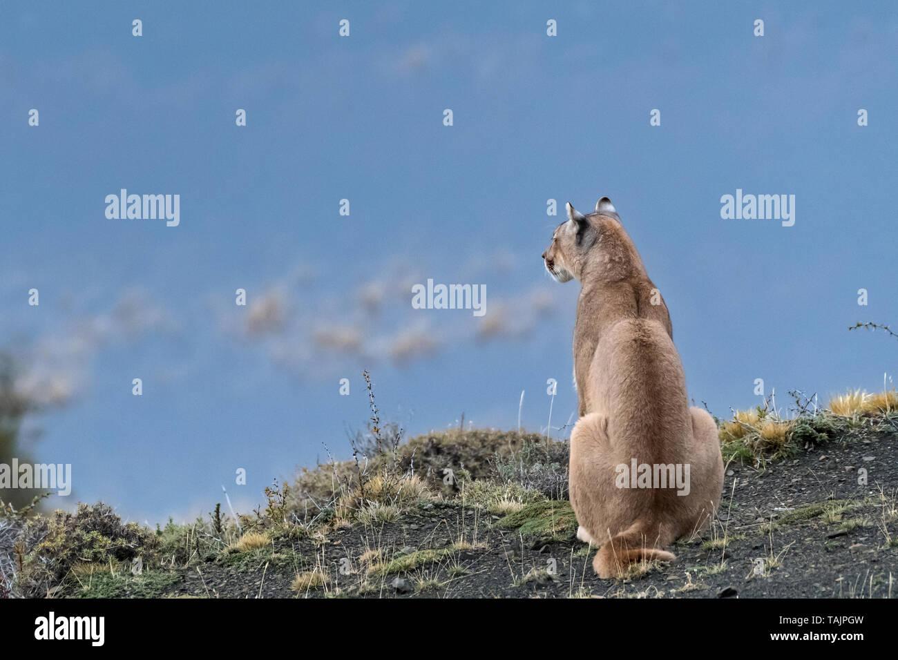 Puma (Felis concolor), Torres del Paine NP, Chile - Stock Image