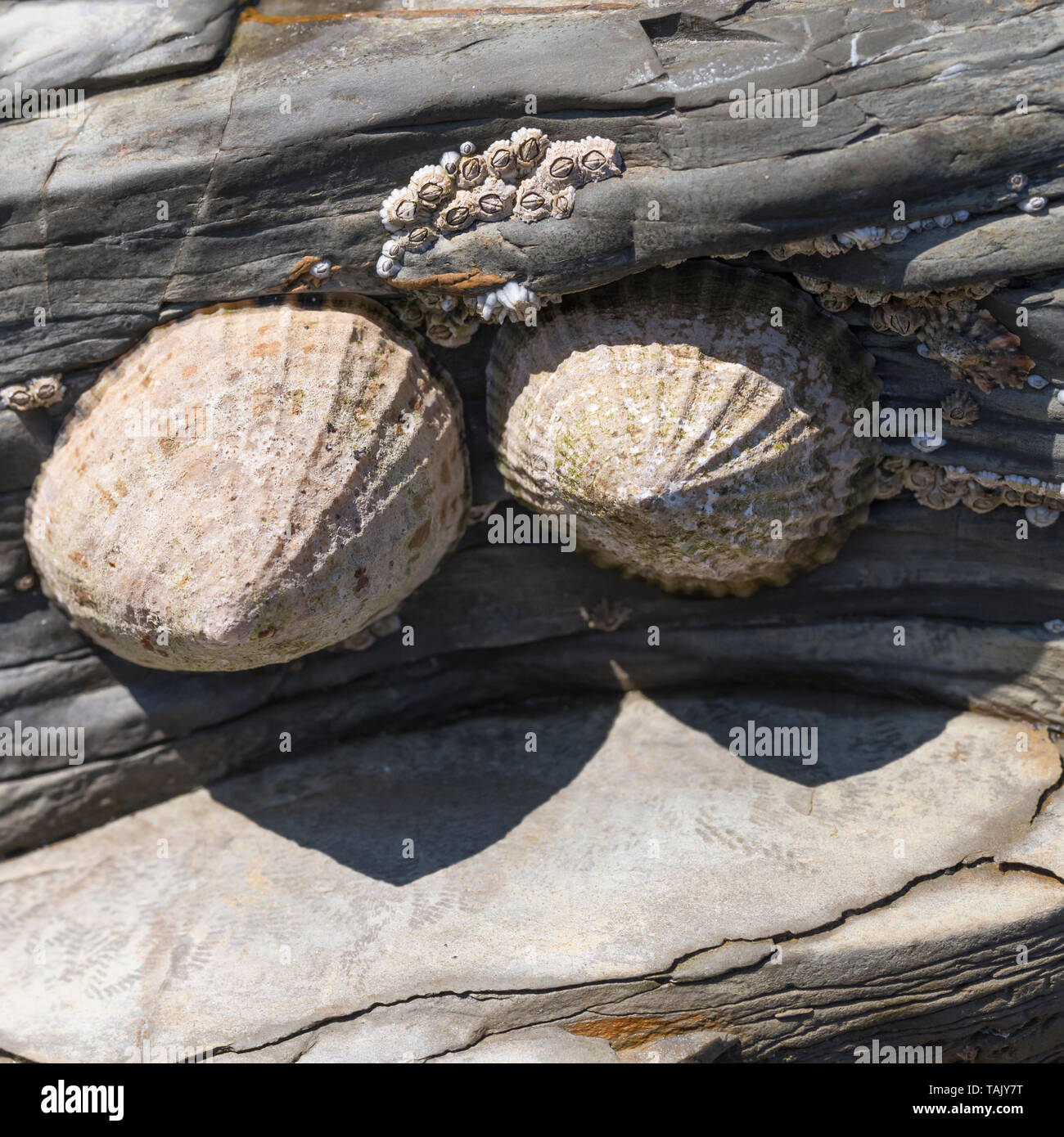 Limpets and barnacles on a beach rock awaiting the return of high tide. Stock Photo
