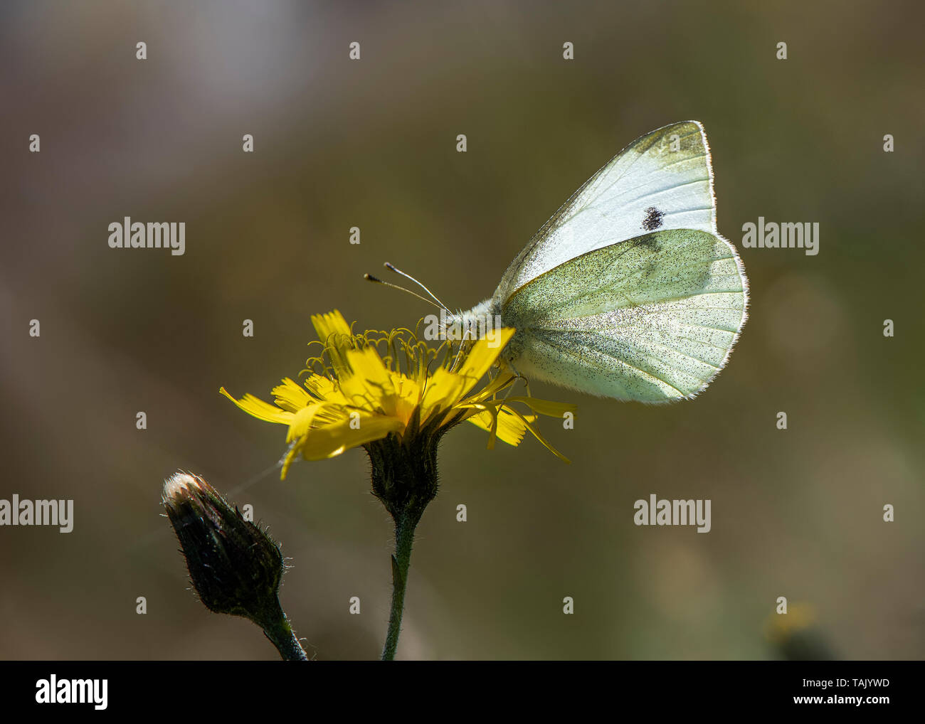 Large White nectaring, Dumfries, Dumfries and Galloway, S W Scotland - Stock Image