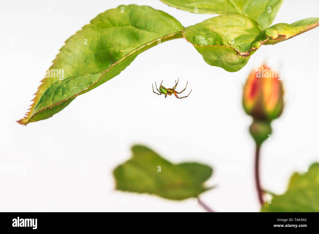 A green orb or cucumber spider weaving its web under the leaf of a rose bush with a red and yellow rose bud in soft focus in the background against a  - Stock Image