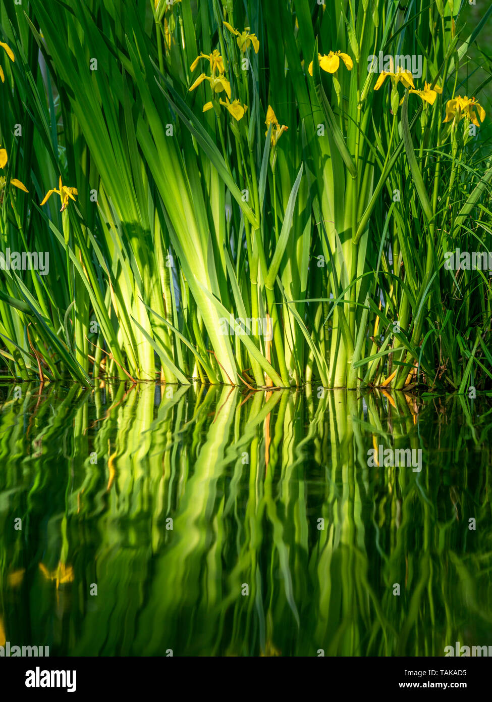 Close up image of fresh flowers with reflections in the water. Close up Stock Photo