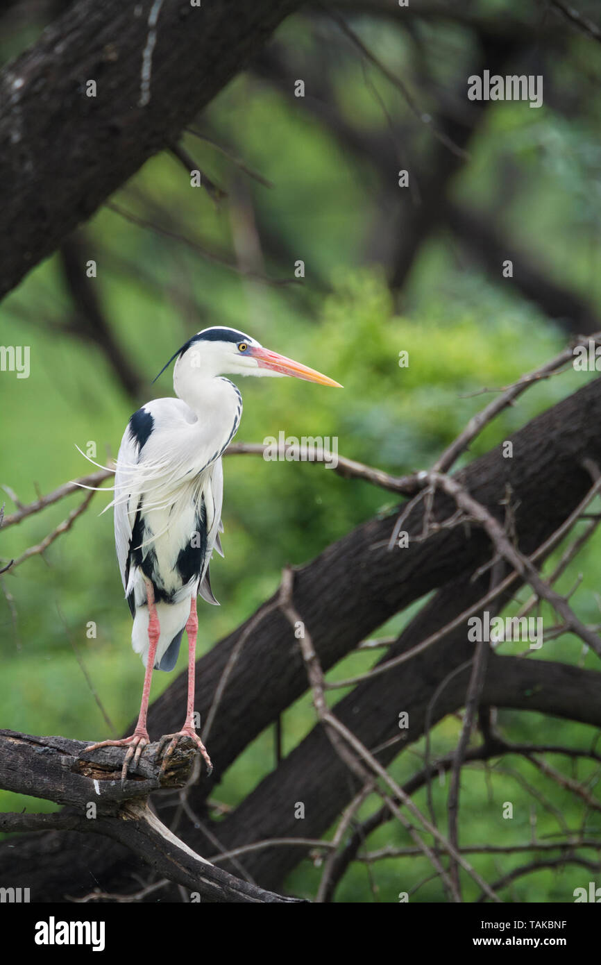 Grey Heron (Ardea cinerea), adult perched on branch. Keoladeo National Park. Bharatpur. Rajasthan. India. - Stock Image