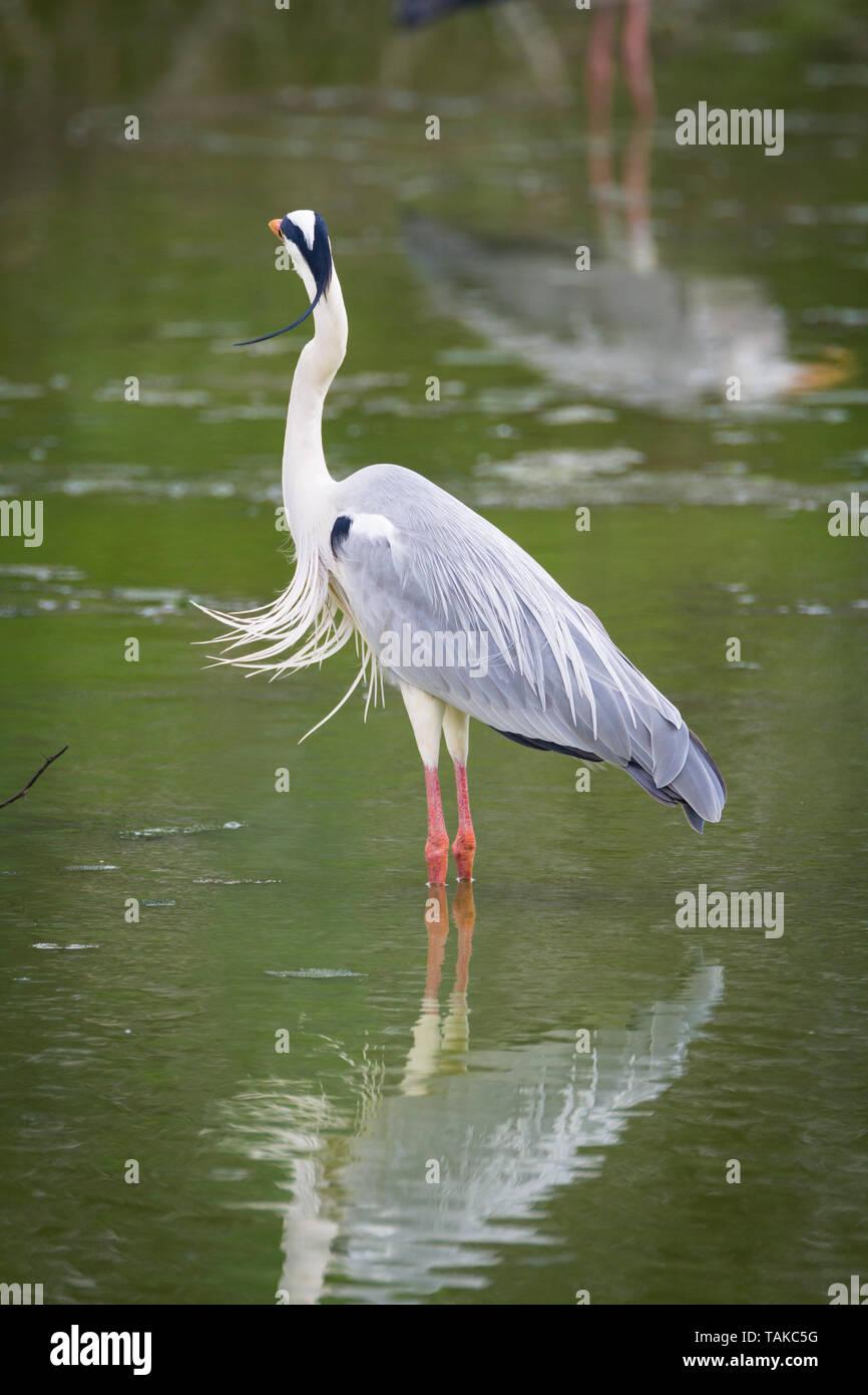 Grey Heron (Ardea cinerea), adult standing in water. Keoladeo National Park. Bharatpur. Rajasthan. India. - Stock Image
