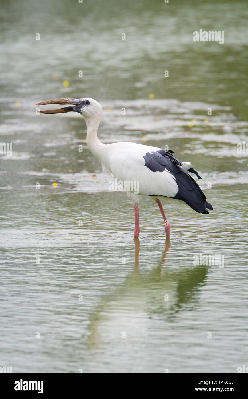 Asian Openbill (Anastomus oscitans) standing in water. Keoladeo National Park. Bharatpur. Rajasthan. India. - Stock Image