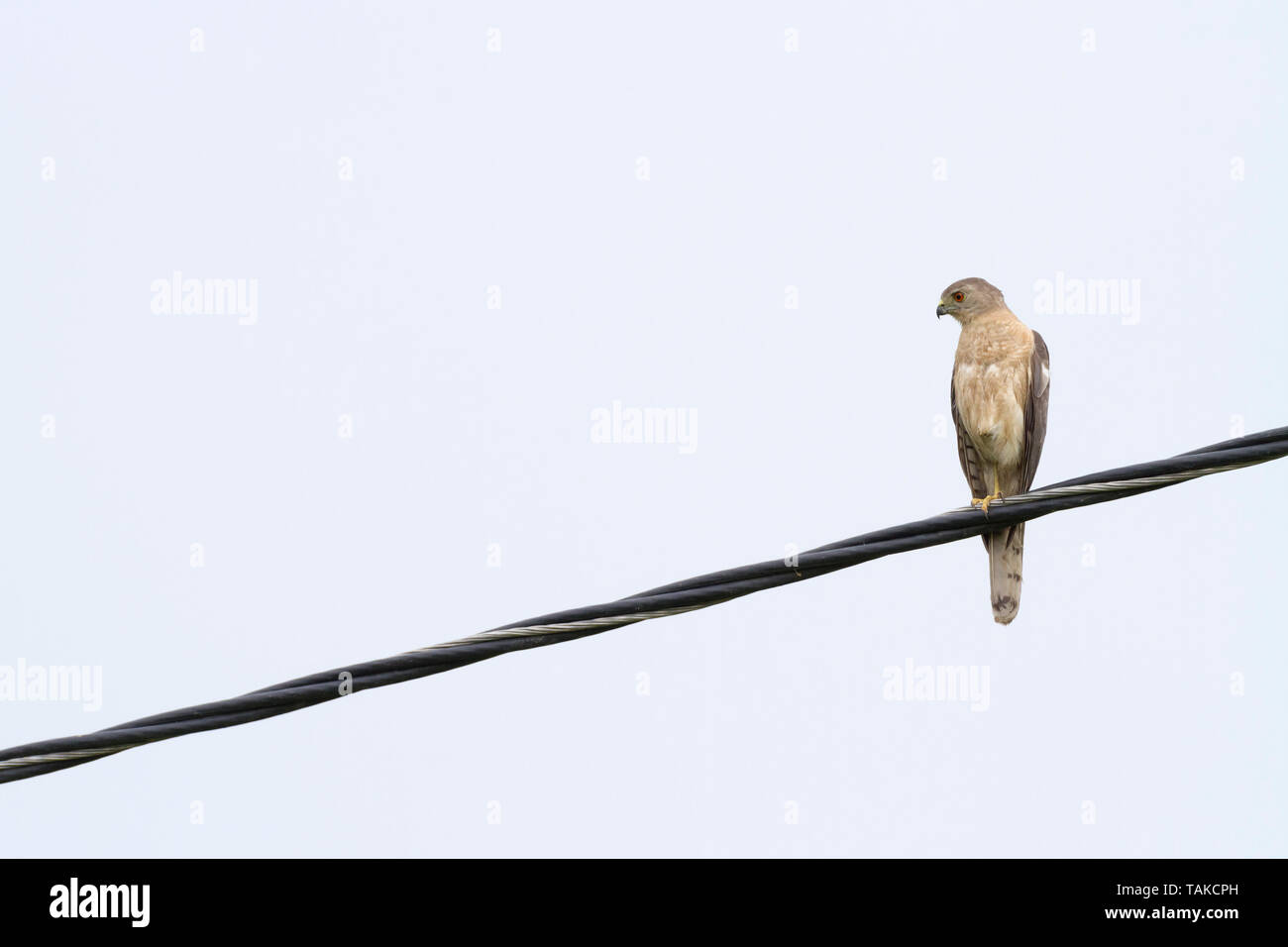 Shikra (Accipiter badius) perched on wire. Keoladeo National Park. Bharatpur. Rajasthan. India. - Stock Image