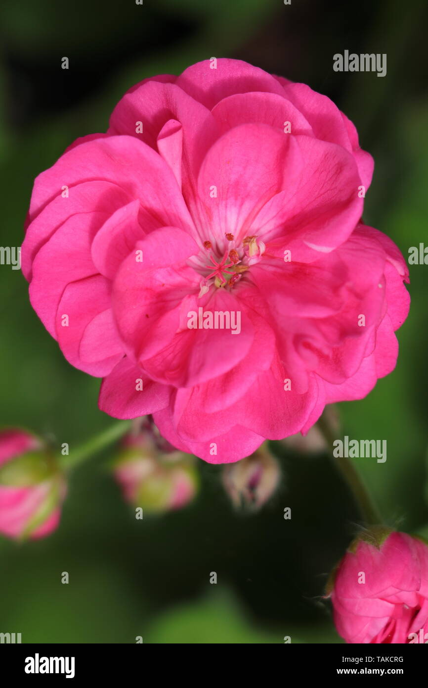 Geranium Or Pelargonium Is A Genus Of Flowering Plants
