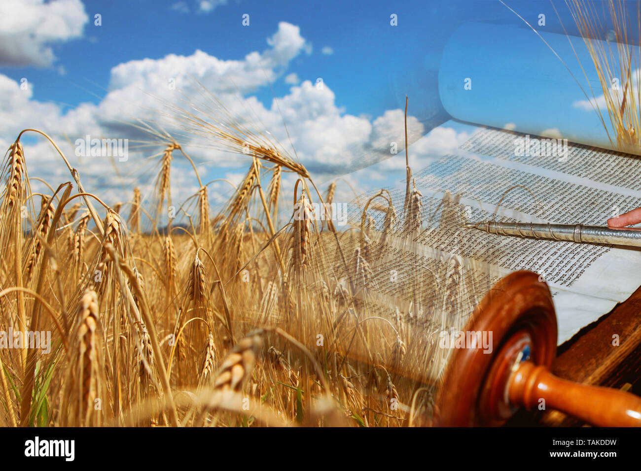 Symbols of jewish holiday Shavuot Torah and wheat field meadow. - Stock Image