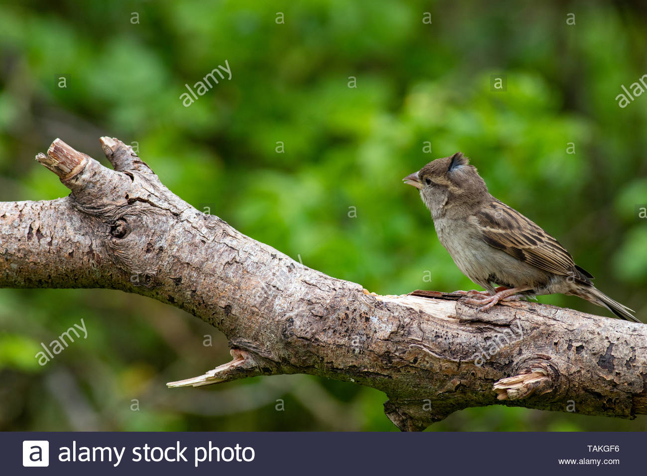 Juvenile House Sparrow (Passer domesticus) perched on branch - Stock Image