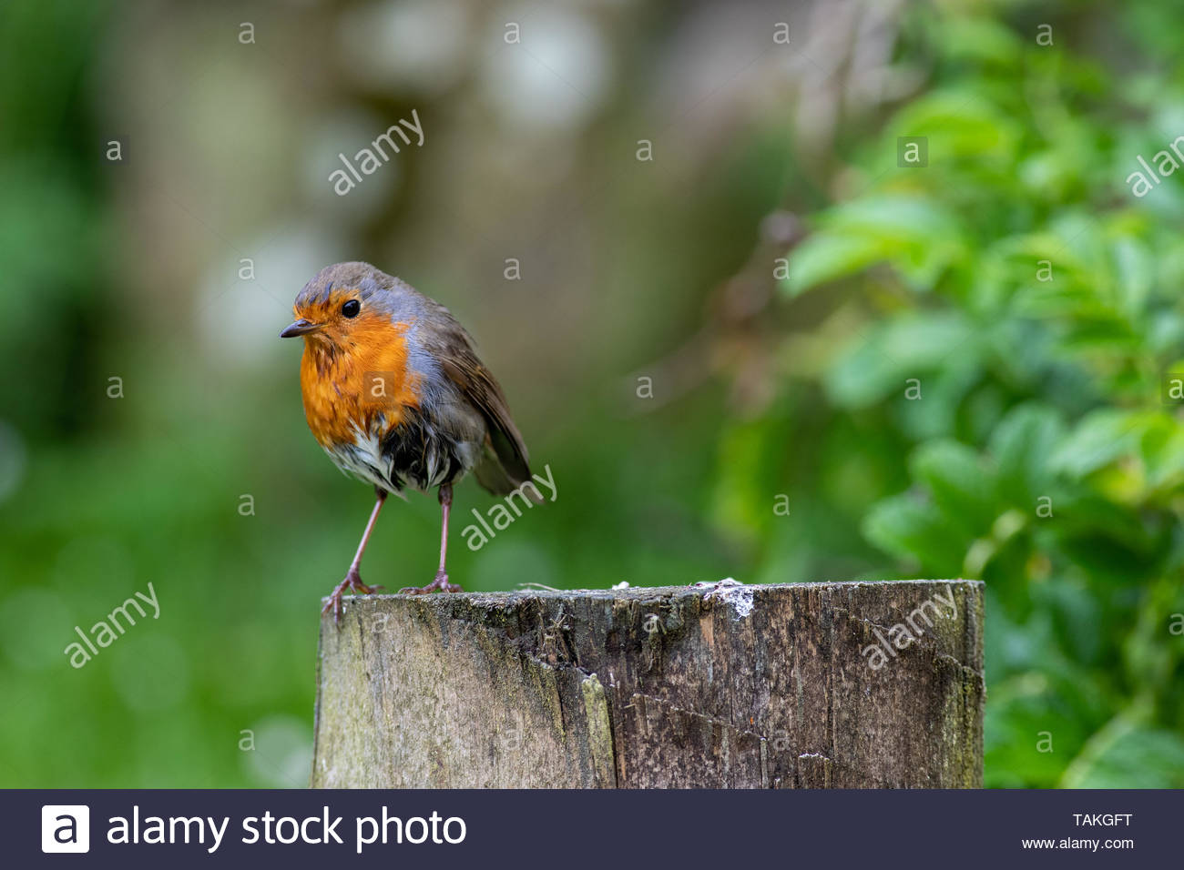 Robin (Erithacus rubecula) perched on fence post - Stock Image