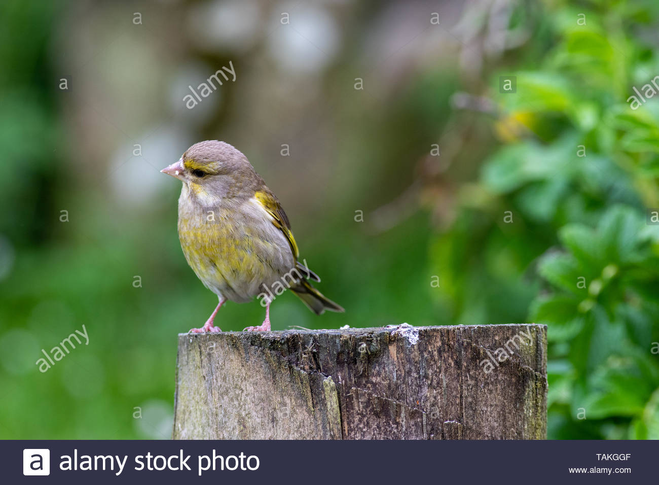 Juvenile Greenfinch (Carduelis chloris) on fence post - Stock Image