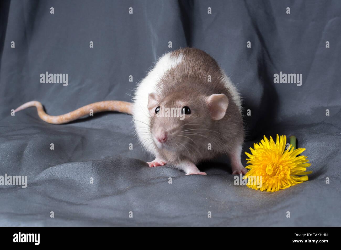 rat on a dark background - Stock Image