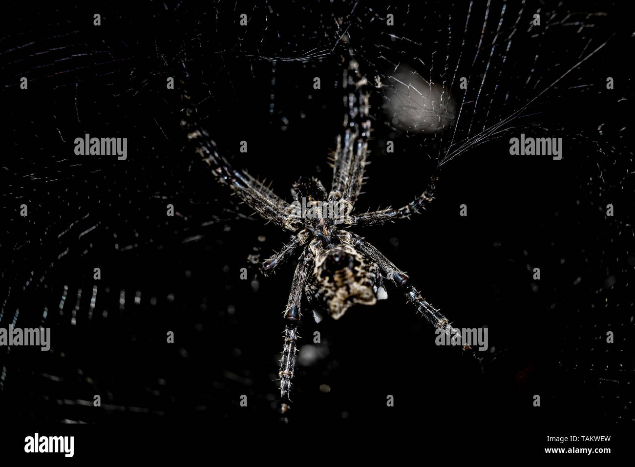 arguope trifasciata hanging on its own web - Stock Image