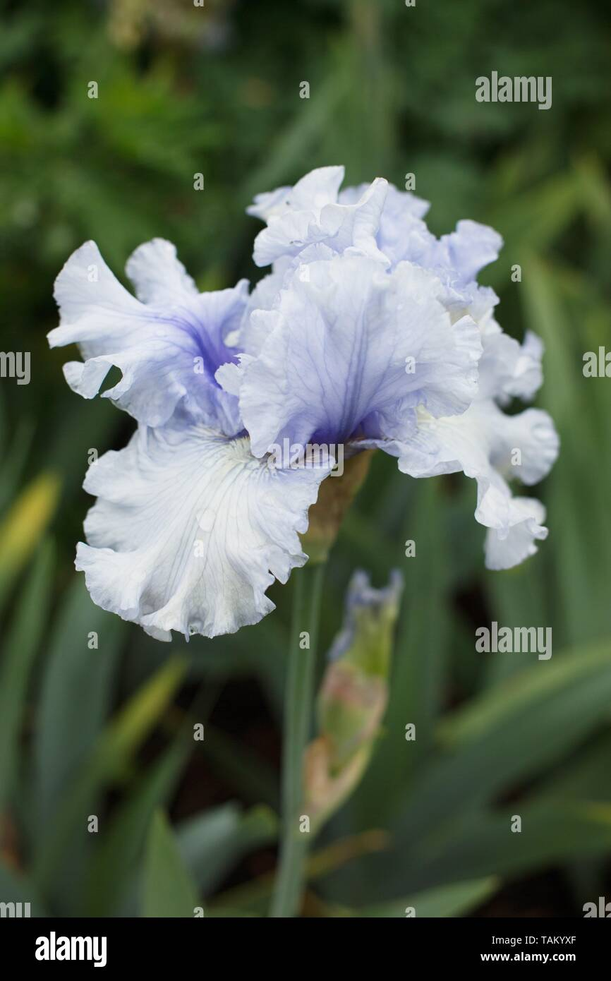 Iris 'On Thin Ice' at Schreiner's Iris Gardens in Salem, Oregon, USA. - Stock Image