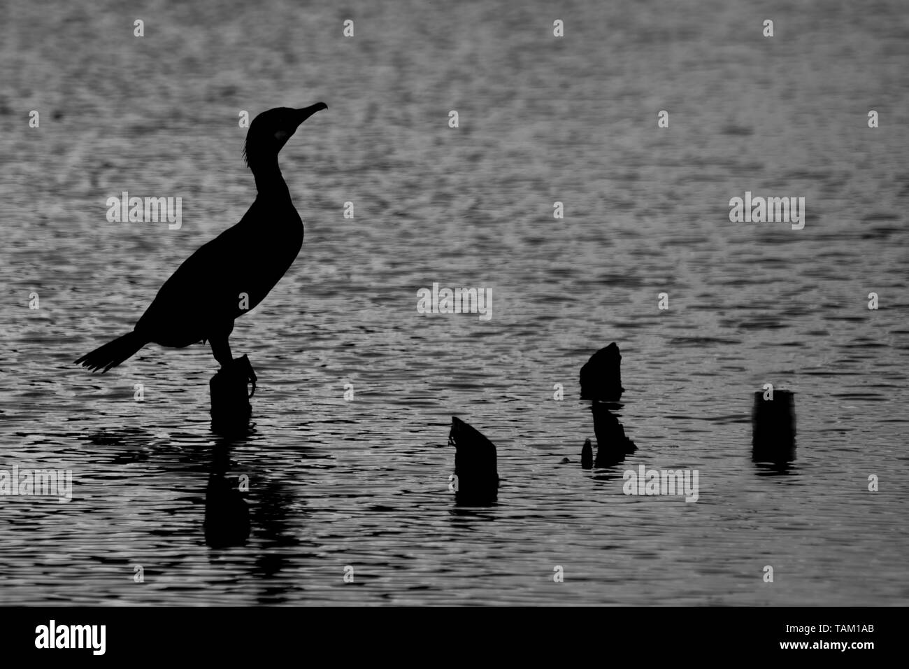 Silhouette of a cormorant basking in the late evening sun - Stock Image