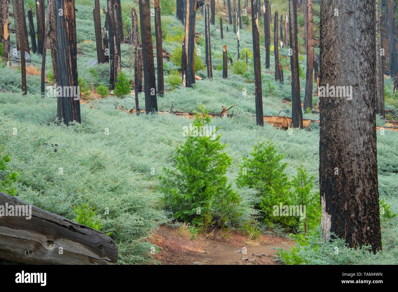 Conifers and morning fog, Mariposa grove, Yosemite NP, California, USA, by Bill Lea/Dembinsky Photo Assoc - Stock Image
