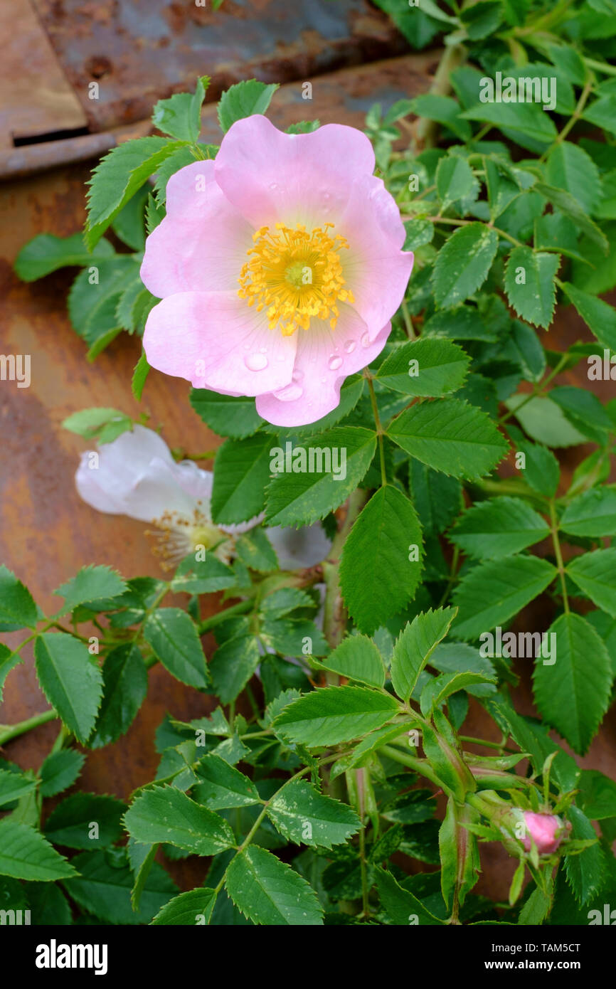 dog rose rosa canina flower blooms on the shrub in a rural garden zala county hungary Stock Photo
