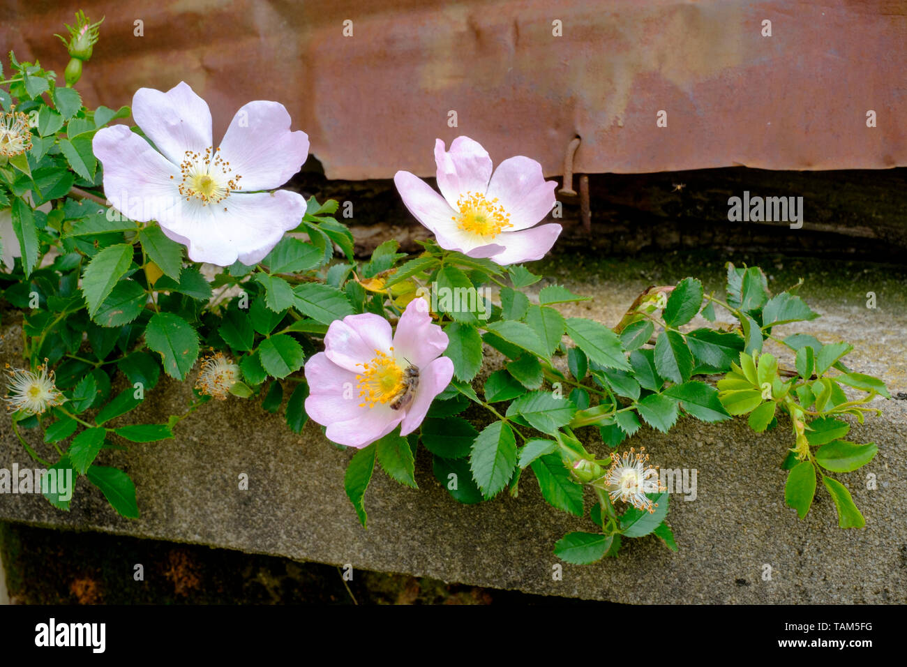 dog rose rosa canina flowers bloom on the shrub in a rural garden zala county hungary Stock Photo