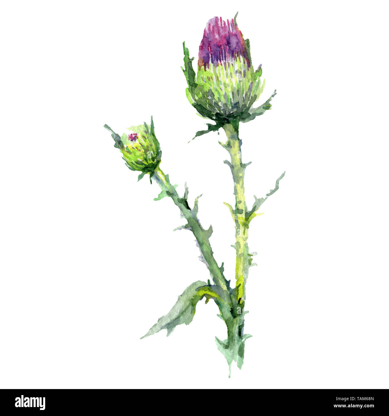 0119c9aa1 Thistle floral botanical flower. Wild spring leaf wildflower isolated.  Watercolor background illustration set. Watercolour drawing fashion  aquarelle i
