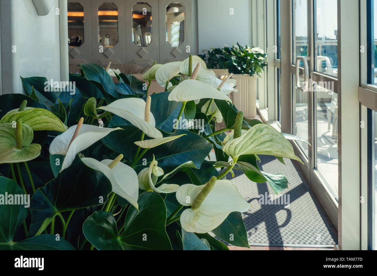 Close-up of Calla flowers against green leaves in the hall of the room. Design the room with the help of beautiful plants. Stock Photo