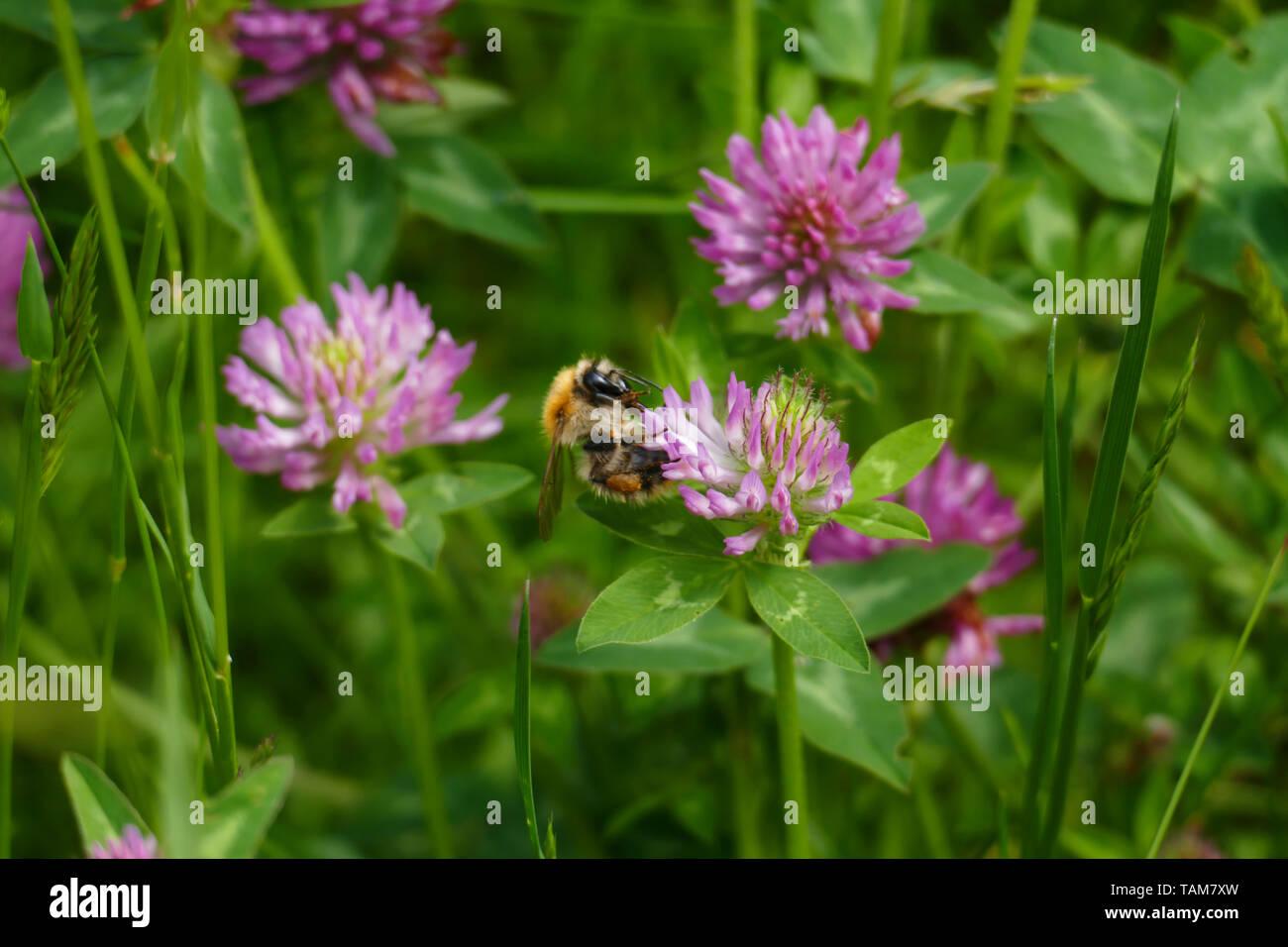 Hummel fliegt auf eine lila, violett farbener Wiesen Klee Blüte, auf einer Wiese Stock Photo