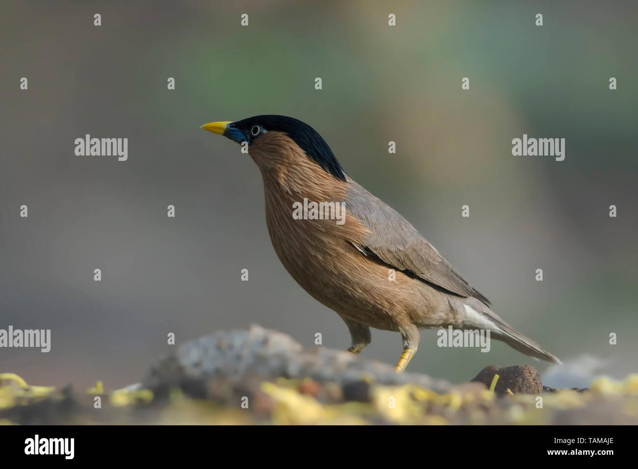 Brahminy starling (Sturnia pagodarum). - Stock Image