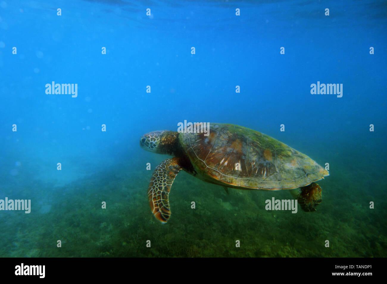 Green turtle (Chelonia mydas), near Fitzroy Island, Great Barrier Reef, near Cairns, Queensland, Australia - Stock Image