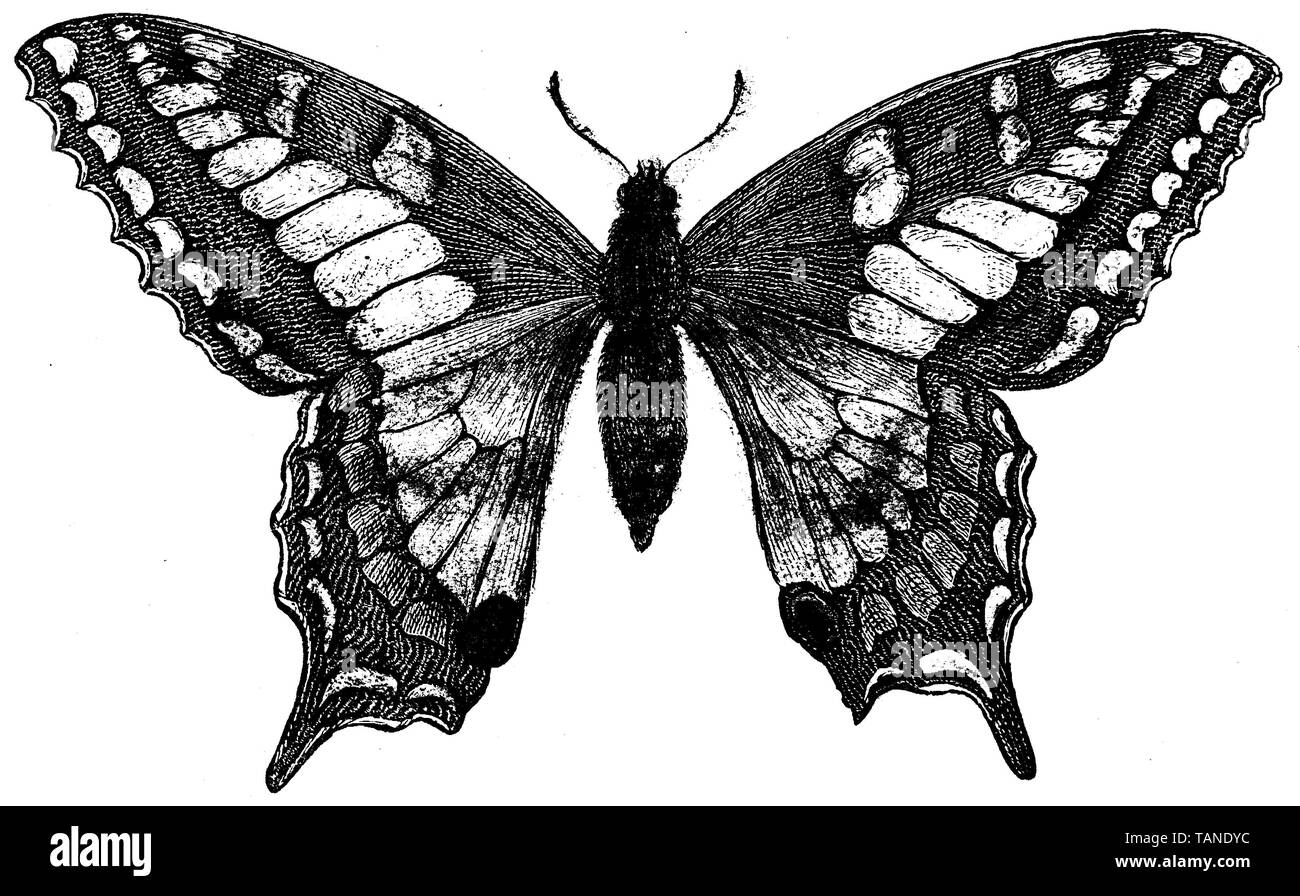 Old World swallowtail, Papilio machaon, anonym (natural history book, 1899) - Stock Image