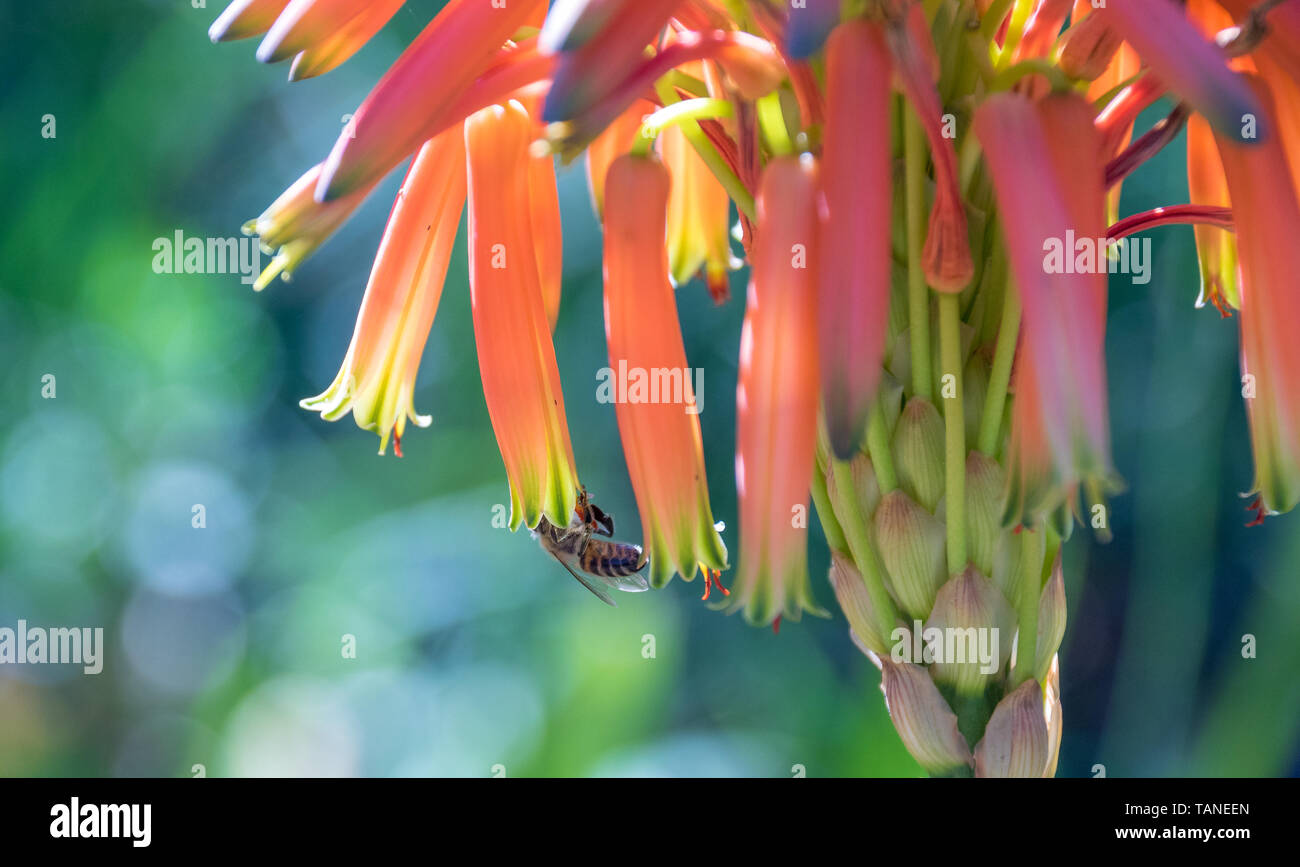 African honeybee isolated pollinating an aloe vera flower image with copy space in landscape format - Stock Image