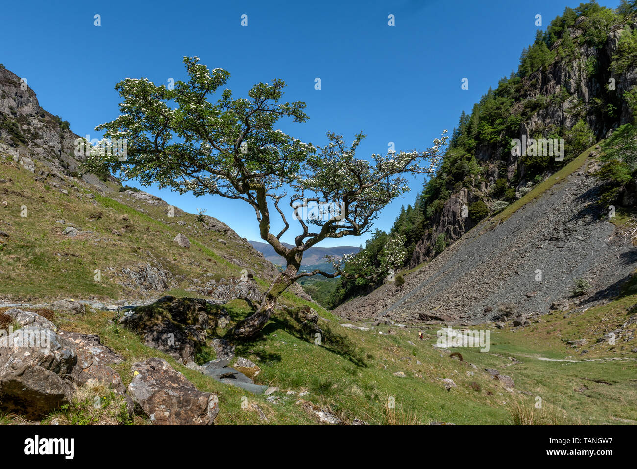 Along the Allerdale ramble in Borrowdale Cumbria - Stock Image