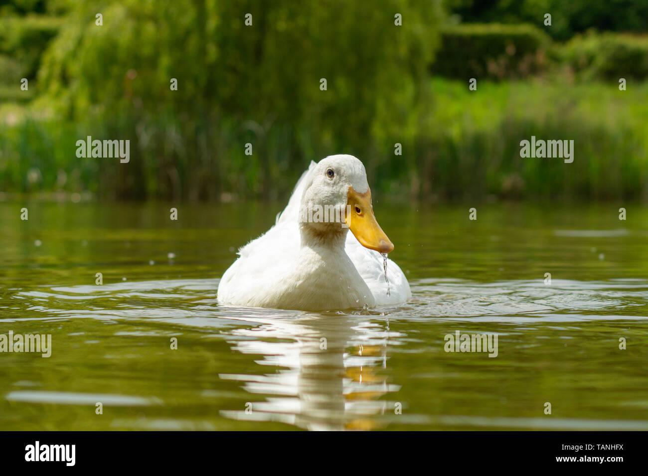 Large White Aylesbury, Pekin, Peking Duck, Close Up, Water Level View - Stock Image