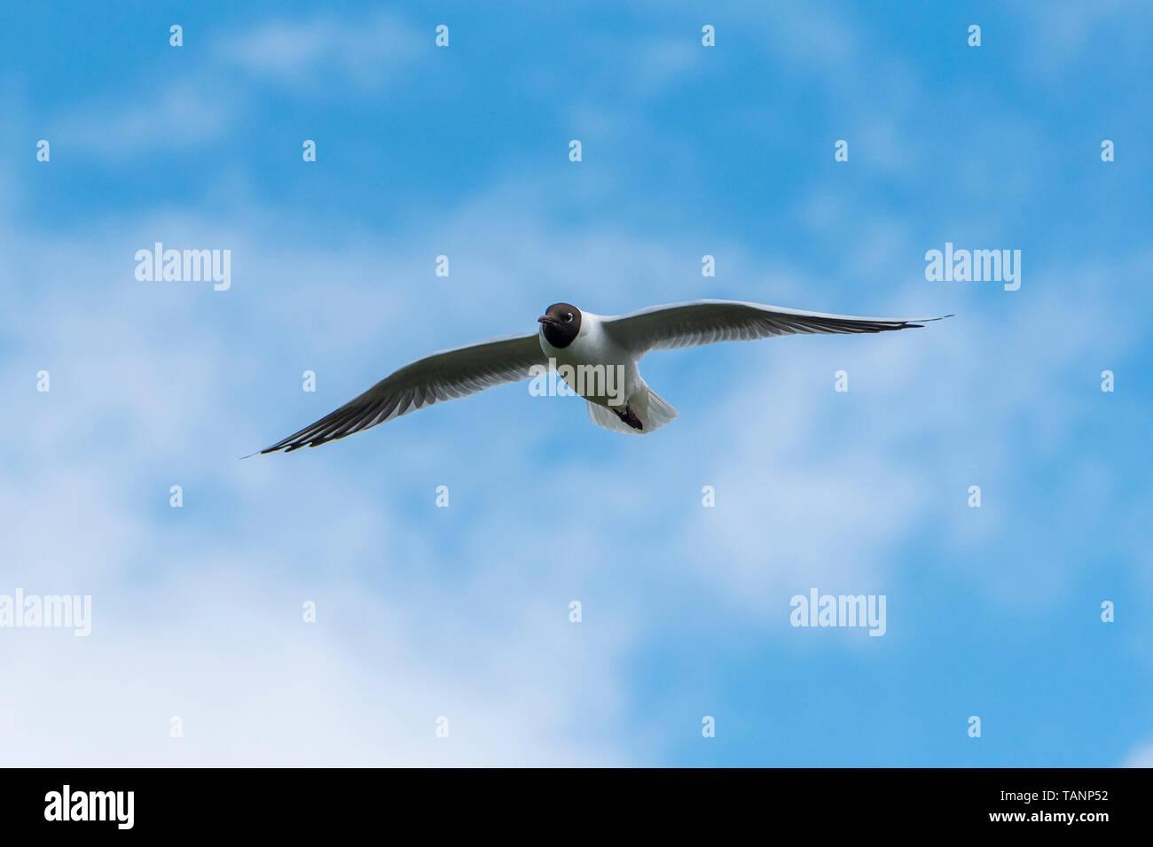 Black headed gull in flight - Stock Image