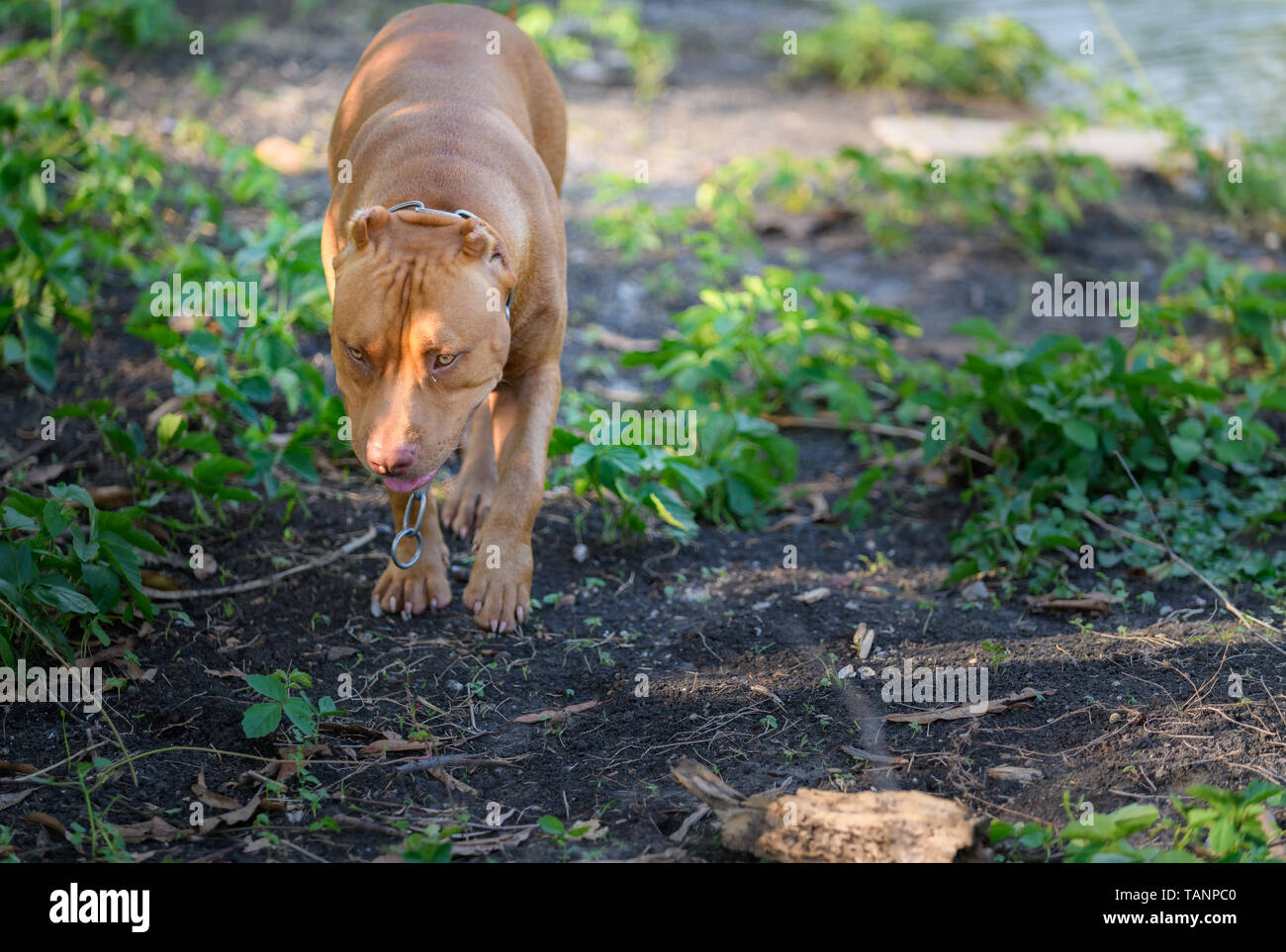 American Pit Bull Terrier dog walking around house,Pet and dangerous dog concept - Stock Image