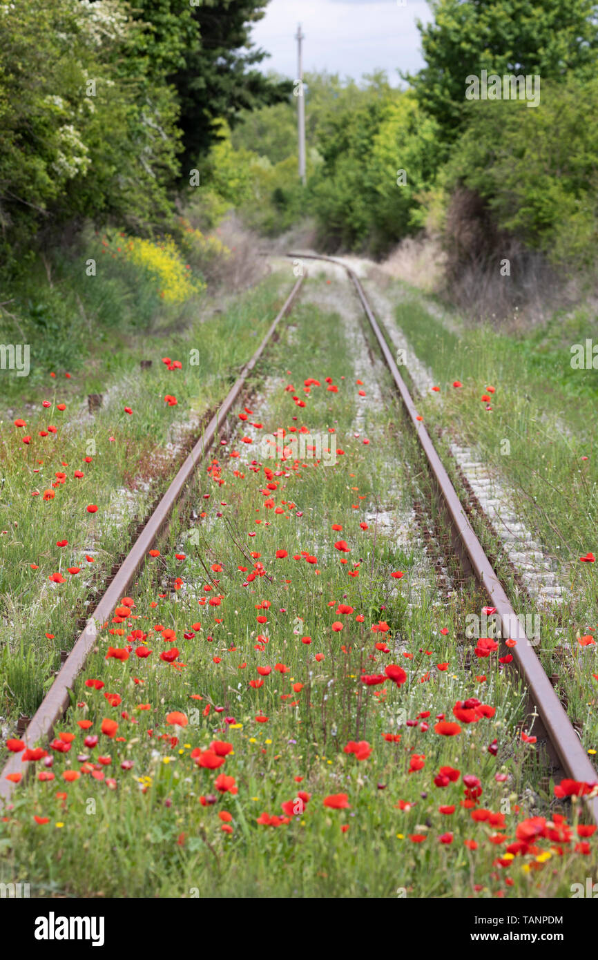 Poppies growing along rail track, San Giovanni d'Asso, Siena Province, Tuscany, Italy, Europe Stock Photo