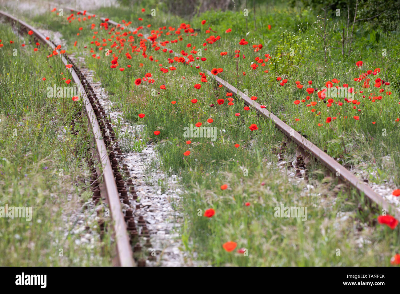 Poppies growing along railtrack, San Giovanni d'Asso, Siena Province, Tuscany, Italy, Europe Stock Photo