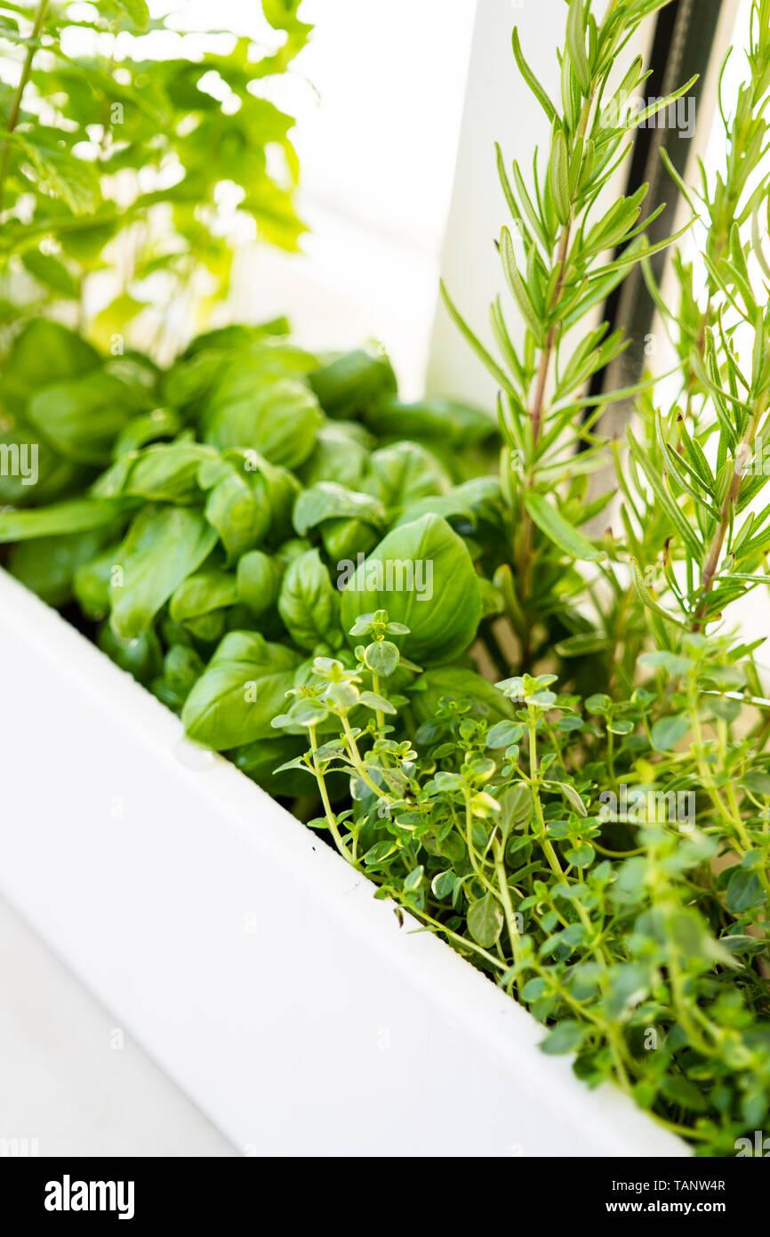 Mixed fresh aromatic herbs growing in pot, urban balcony garden with houseplants closeup Stock Photo