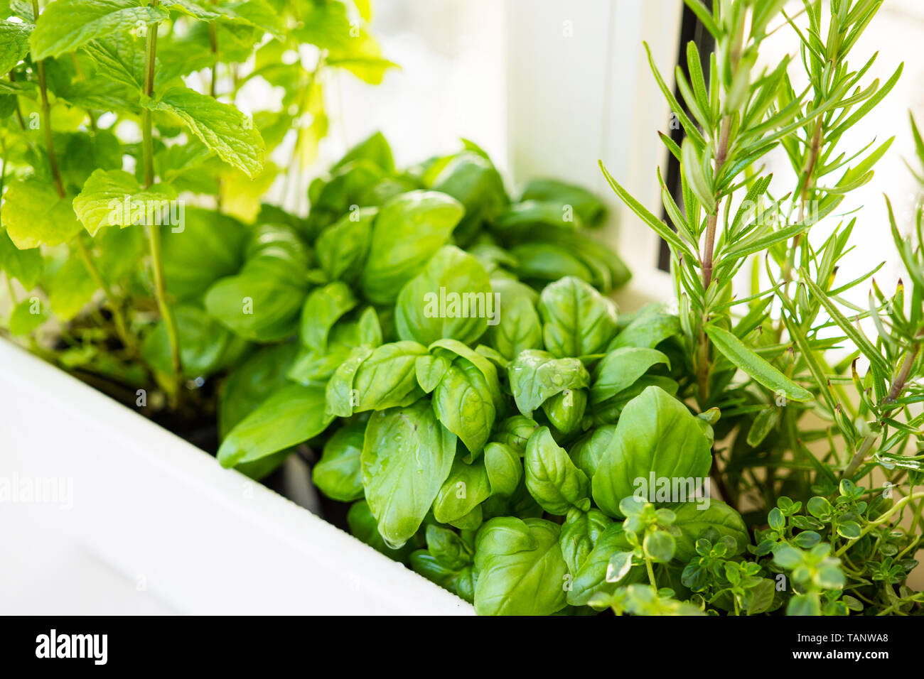 Mixed fresh aromatic herbs growing in pot, urban balcony garden with houseplants closeup Stock Photo