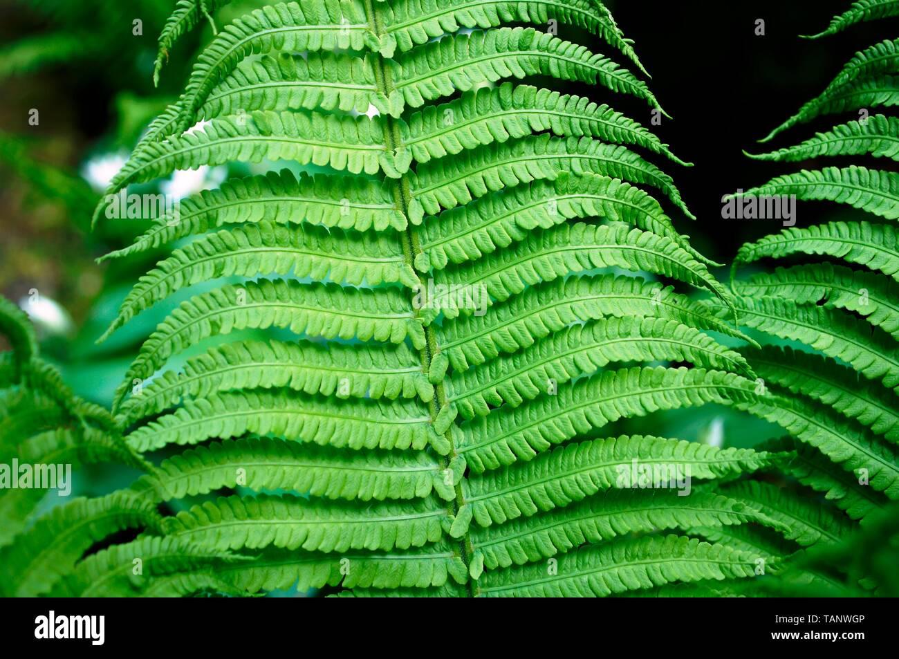 Farn im Wald ,green plant, Stock Photo