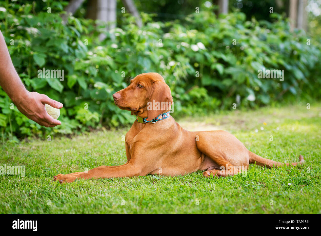Obedience training. Man training his vizsla puppy the Lie Down Command using ball as positive reinforcement. - Stock Image